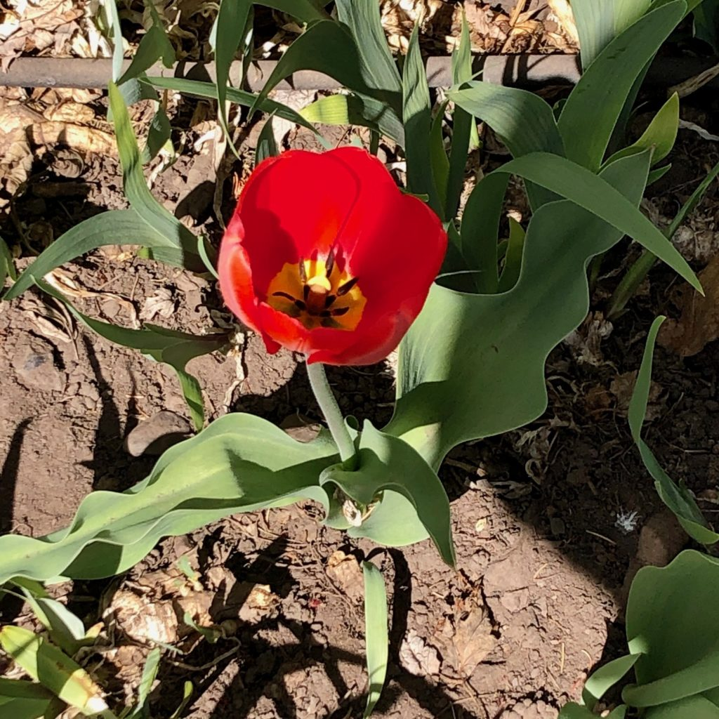 Photo of red tulip