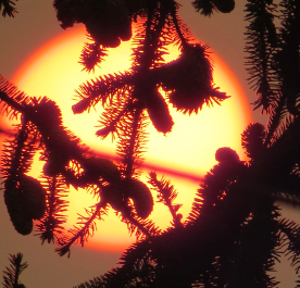 Sun glowing behind tree branches